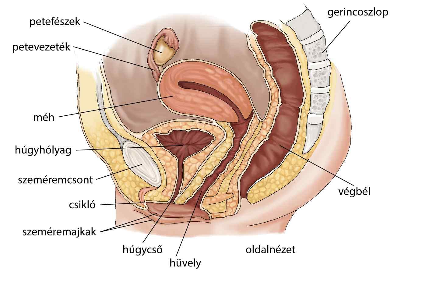 Hiperaktív hólyag tünetei és kezelése
